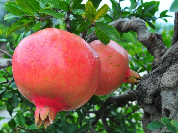 9种时令水果 陪你过9月!