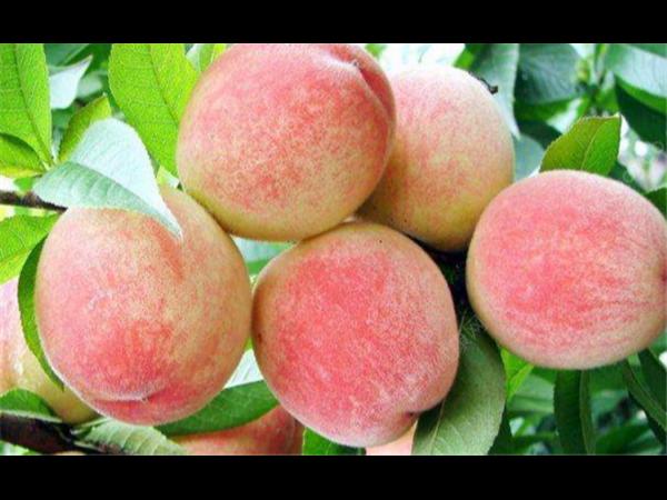 水蜜桃是毛桃还是油桃 水蜜桃是毛桃吗?