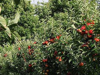 洛川苹果种植基地