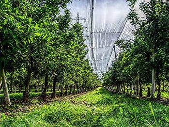 福建柚子种植基地