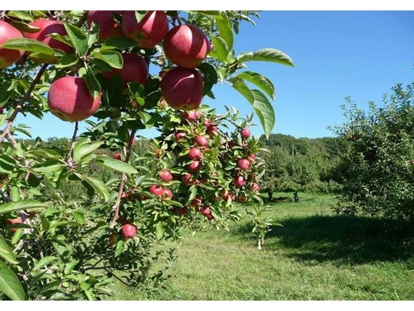 山东苹果种植基地