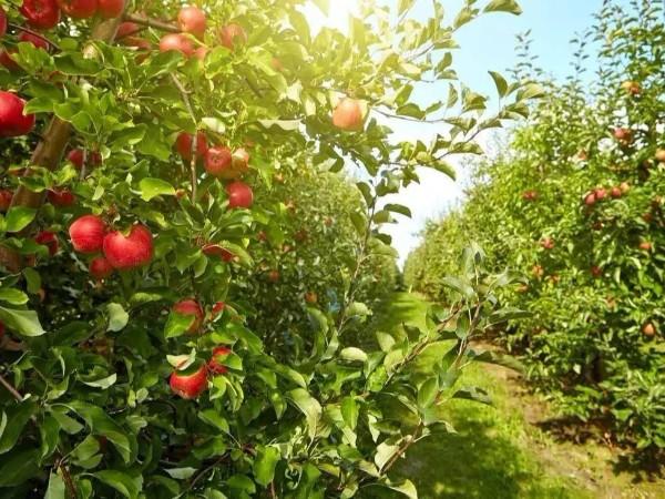 新疆苹果种植基地