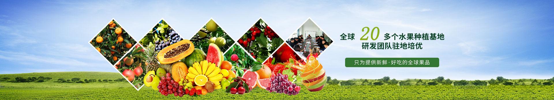 金泉果业全球20多个水果种植基地  专业研发团队基地培优